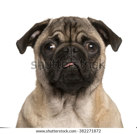 Pug puppy looking at the camera, sticking the tongue out and making a face, isolated on white (5 months old) - stock photo