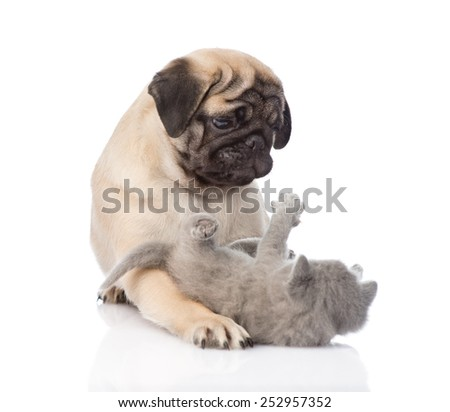 Pug puppy playing with tiny kitten. isolated on white background - stock photo