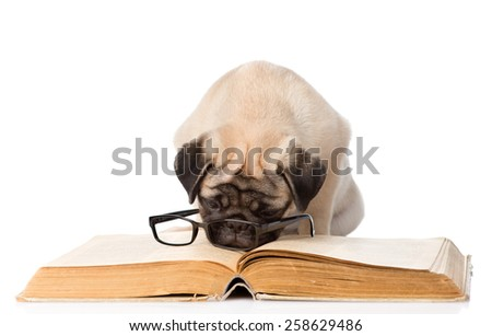 pug puppy reading a book with glasses. isolated on white background - stock photo
