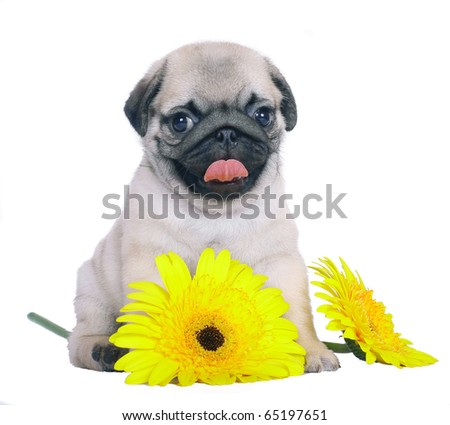 Pug puppy with yellow chrysanthemums. - stock photo