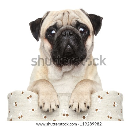 Pug sits in basket on a white background - stock photo