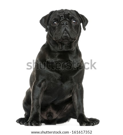 Pug sitting, isolated on white