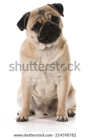 pug sitting isolated on white background - stock photo