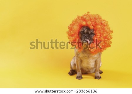 Pug wearing an orange afro wig sitting on a yellow backdrop