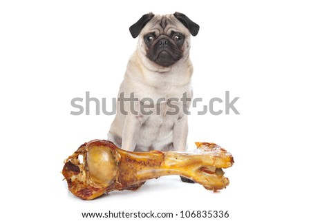 Pug with a huge bone in front of a white background