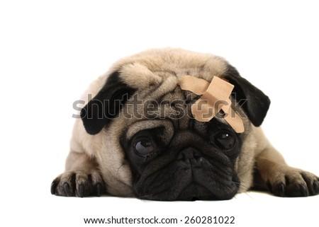 pug with bandaid - stock photo