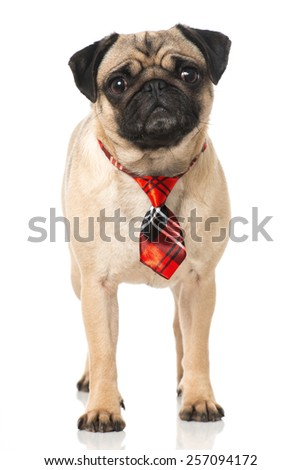 Pug with tie