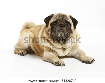 pug 6 years isolated on a white background
