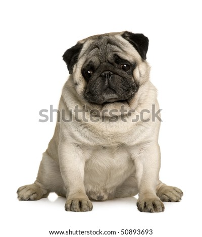 Pug, 4 years old, sitting in front of white background - stock photo