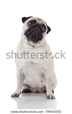 Pug, 2 years old, sitting in front of white background, studio shot
