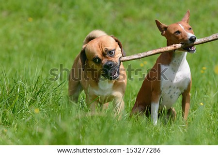 Puggle Dog Designer Dog Mops and Beagle plays with Basenji Dog  - stock photo