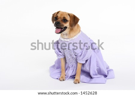 puggle puppy in lavender dress