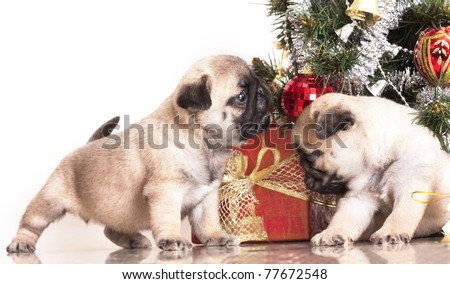 Pugs and Christmas gifts - stock photo