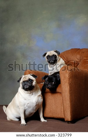 Pugs in a recliner