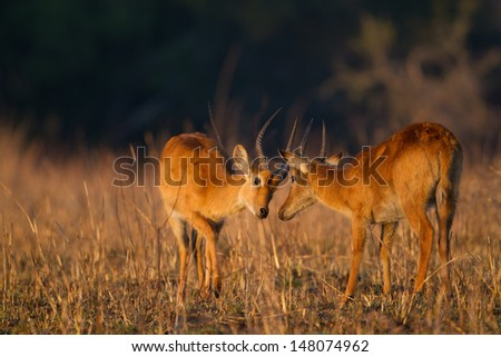 Puku fight - stock photo
