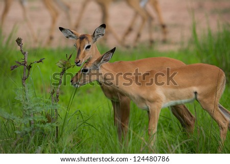 Puku's grazing - stock photo