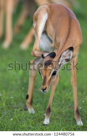 Puku scratching - stock photo