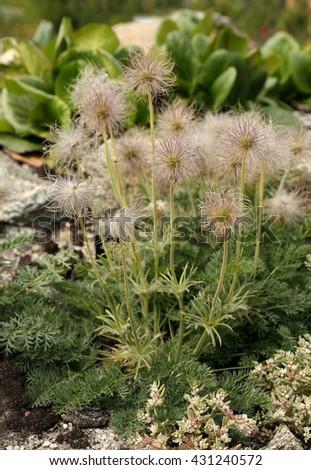 Pulsatilla turczaninovii. Seed ripening. - stock photo