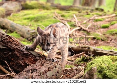 Puma concolor called mountain lion in forest - stock photo
