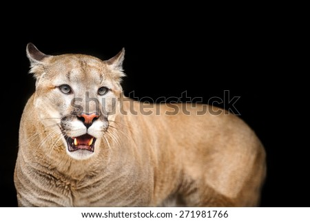 Puma, cougar isolated on black background - stock photo