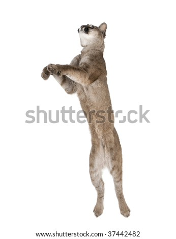 Puma cub, Puma concolor, 1 year old, leaping in midair against white background, studio shot - stock photo