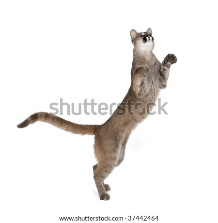 Puma cub, Puma concolor, 1 year old, standing on hind legs and looking up against white background, studio shot - stock photo