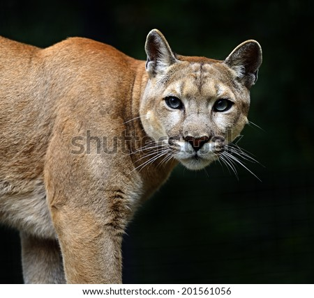Puma down the trunk of a tree in the forest - stock photo