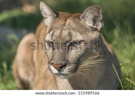 Puma (Felis Concolor) - closeup - stock photo