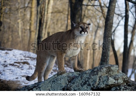 Puma or Mountain lion, Puma concolor, single cat in snow, captive - stock photo