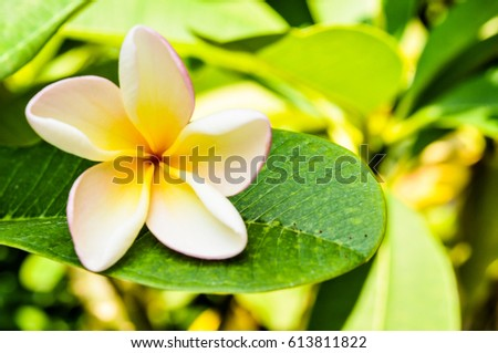 pumeria on leaf, flower white color