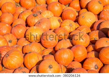 pumkins stalks in farm