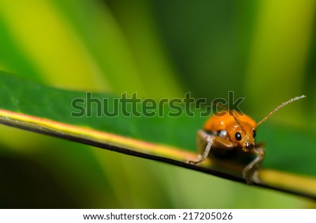 Cucurbit Beetle Stock Photos Images Amp Pictures