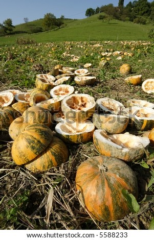 Pumpkin field - stock photo