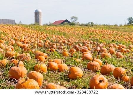 Pumpkin field in a country farm in Kentucky, USA.   Autumn landscape. - stock photo