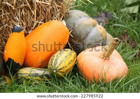 Pumpkin harvest in field - stock photo