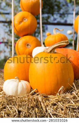 Pumpkin harvest season on the farm,Pile pumpkin in the organic farm. - stock photo