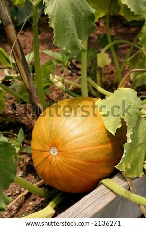 Pumpkin in garden - stock photo