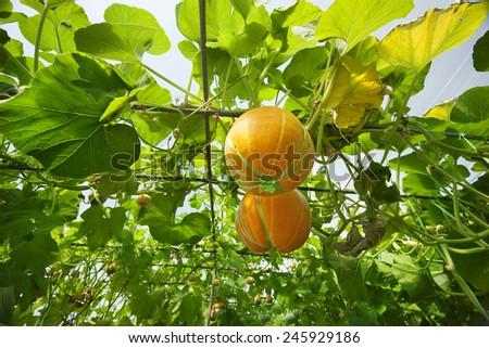 Pumpkin in greenhouse - stock photo