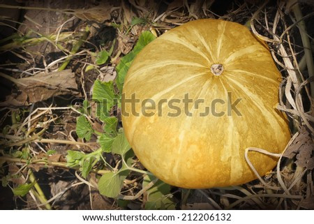 pumpkin in the garden on a background of dry leaves - stock photo