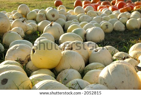 Pumpkin Patch - stock photo