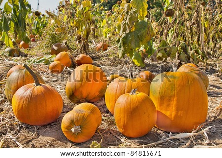 Pumpkin Patch in Farm Field in Oregon