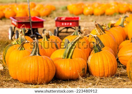 Pumpkin patch on sunny Autumn day.
