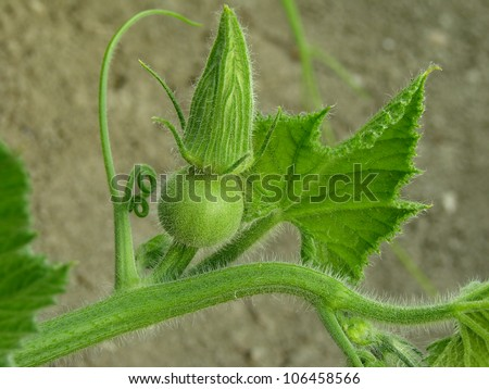 pumpkin plant fragment with bud - stock photo