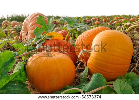 Pumpkin plants with rich harvest on a field - stock photo
