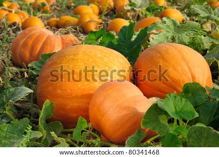 Pumpkin plants with rich harvest on a field ready to be harvested - stock photo