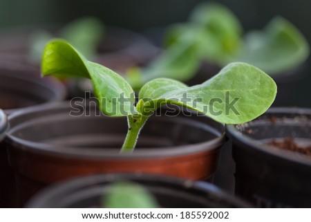 Pumpkin seedling in pot close-up - stock photo