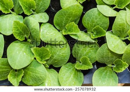 Pumpkin seedling in tray - stock photo