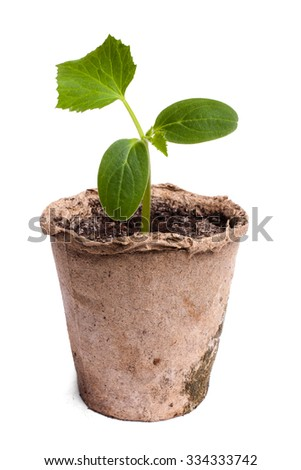 pumpkin seedling on white background