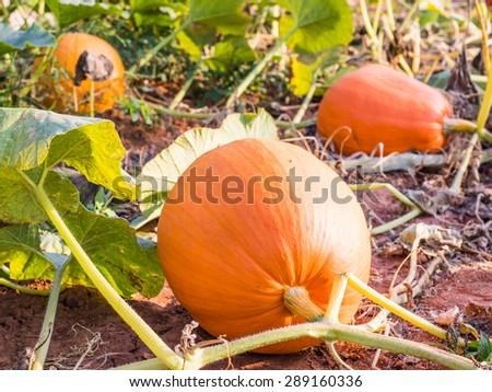 pumpkins garden in sunlight - stock photo