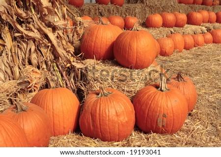 Pumpkins in Autumn. - stock photo